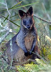 Swamp wallaby by Tim Bergen