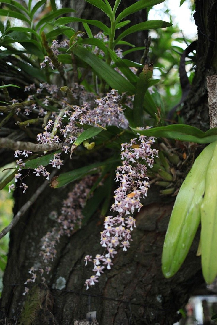 Garden Visit: A Hanging Orchid Garden in San Isidro, Buenos Aires - Gardenista. Oncidium orchids, like this one, are native to Argentina and other parts of South America.