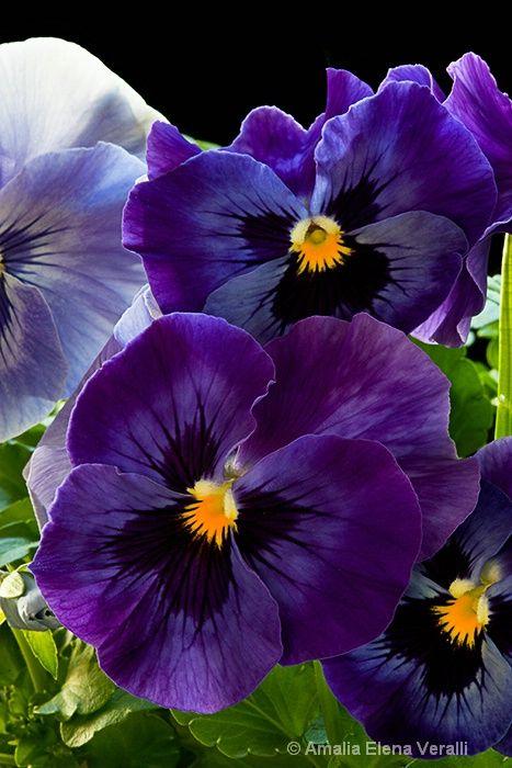 Pretty Pansy   Deep Purple   Pinterest   Flowers, Pansies and Beautiful flowers