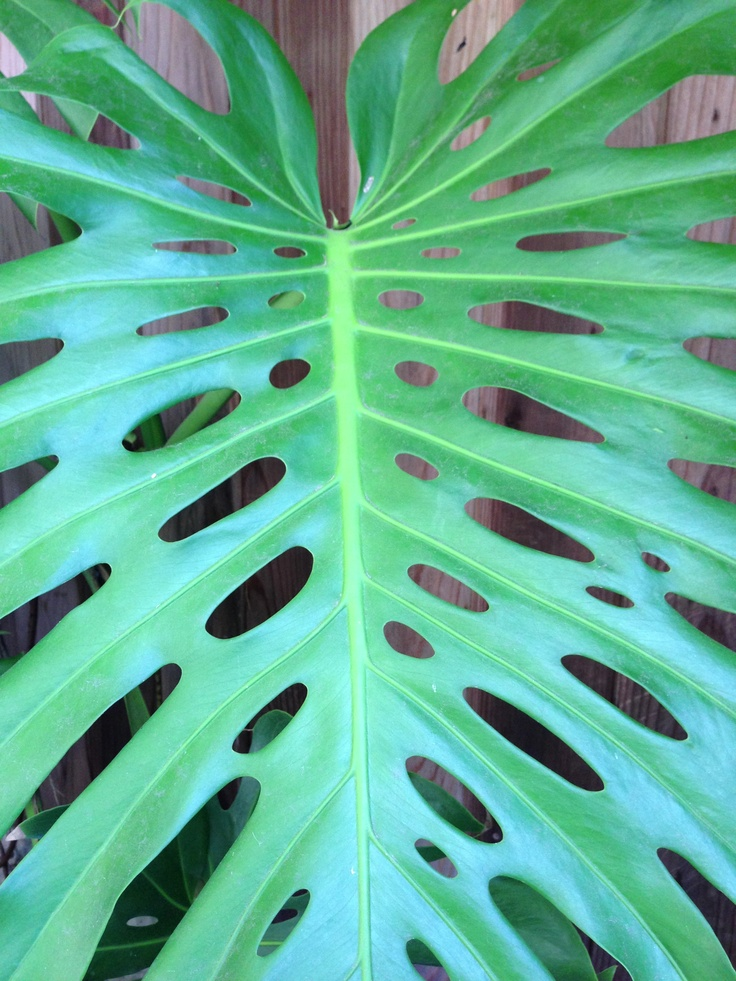 Monstera deliciosa makes me think of Julius Shulman, it appeared in so many of his photos.