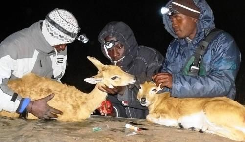 Endangered buck saved from game reserve   IOL