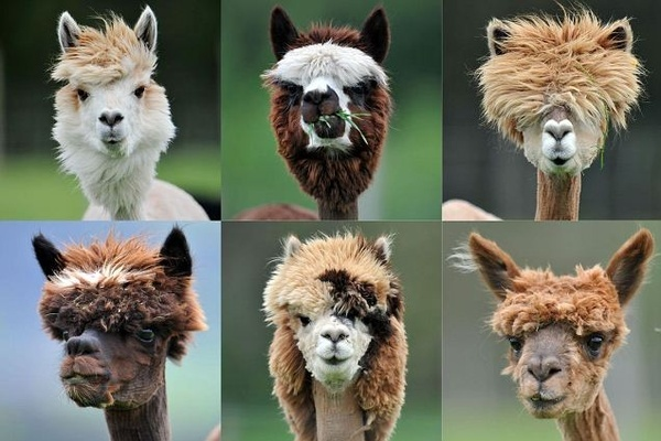 The guys that do the sheering get creative with the alpacas. LOL