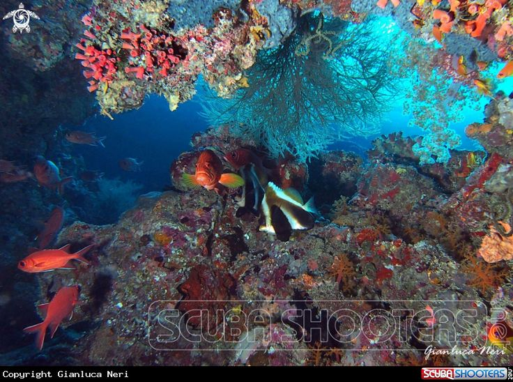 Grouper, bannerfish, soldierfish  in Maldives