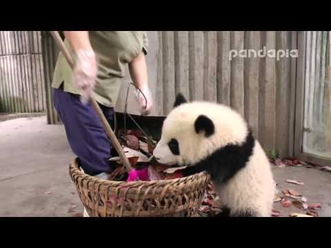 how to become a panda nany