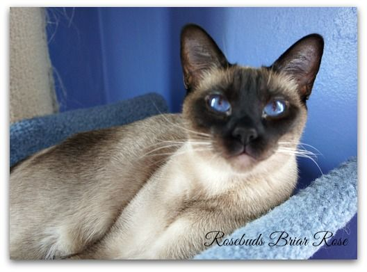 Rosebuds Siamese Cattery - Siamese Queens - Ft Wayne Indiana Siamese Cat breeder - Siamese Cats