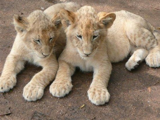 Lion Park: Pet a baby lion - See 1,442 traveler reviews, 1,456 candid photos, and great deals for Chartwell, South Africa, at TripAdvisor.