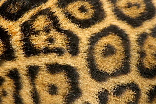 Leopard Fur - Texture