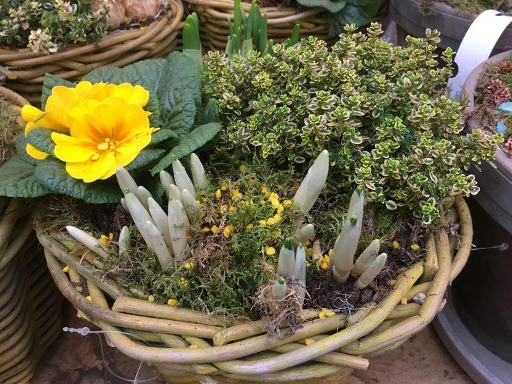Zoveel zin in het #voorjaar #lente #geel #bloembollen