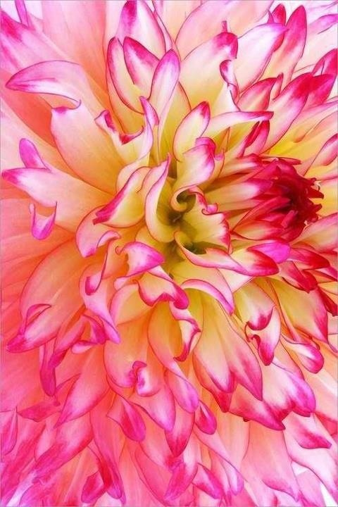 A heavenly Dahlia