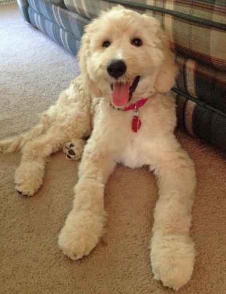 Daisy the Goldendoodle-Long legged beauty!