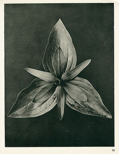 Karl Blossfeldt Photogravures Urformen der Kunst 1929. I can feel a Karl collection coming on because his images are so strong....