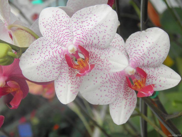 Variedad de orquidea