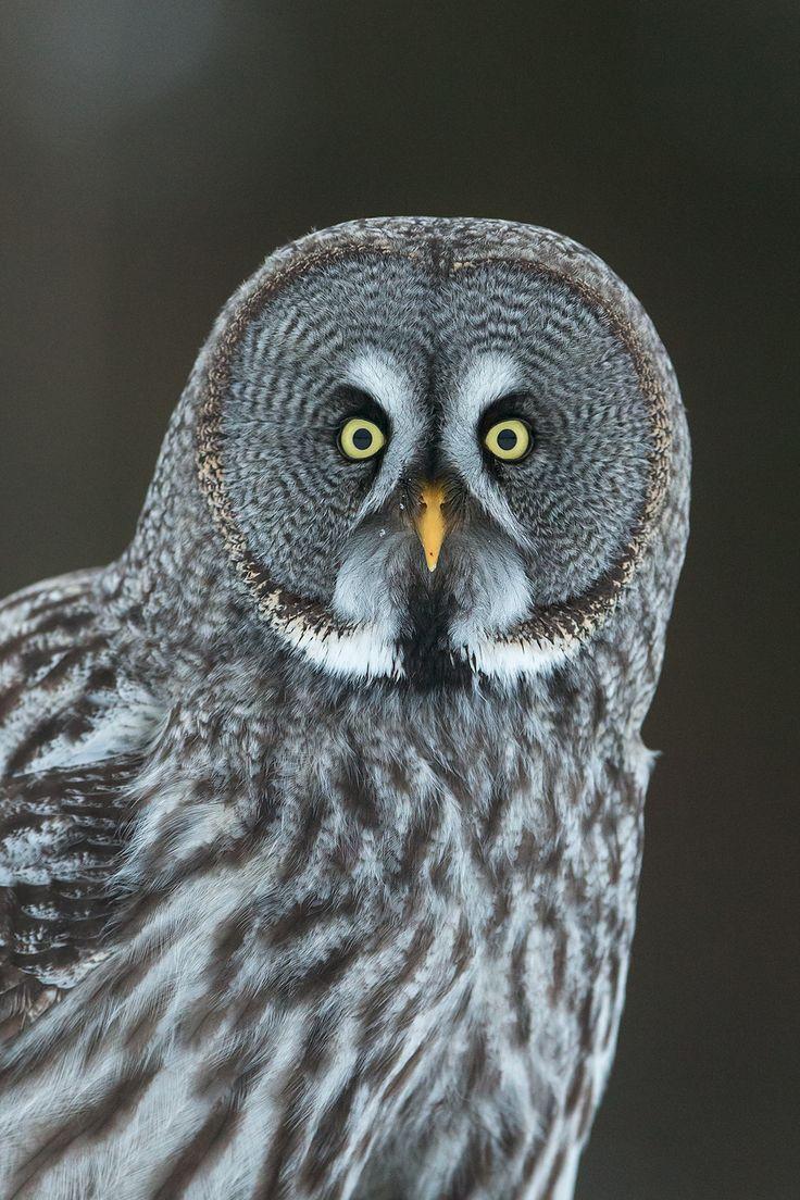 Great grey owl portrait by René Visser on 500px