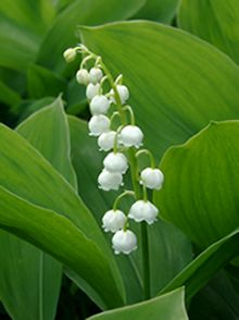 Lily of the valley/ May birth flower