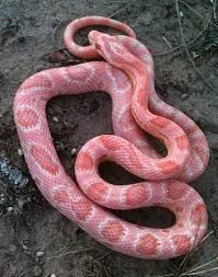"""Salmon Snow Corn Snake """"Cotton Candy"""" corn snake. An absolutely exquisite snake! As hatchlings, they are very light pastel pink. As they mature, they become more vibrant. (Males keep a more intense color than females.)"""