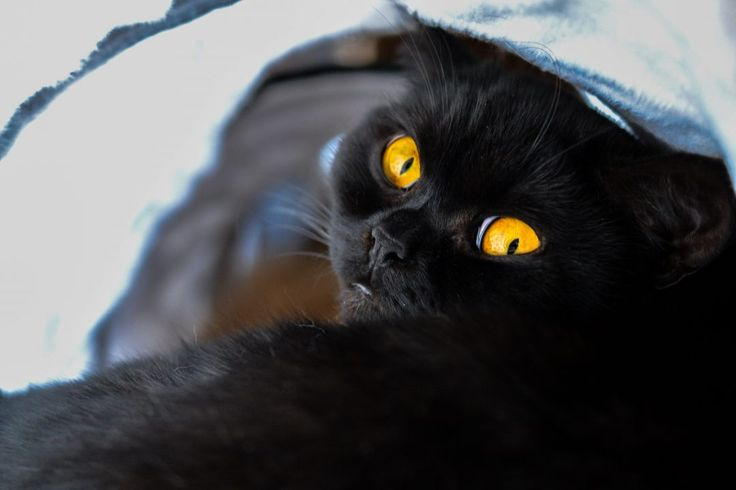 Black British shorthair with yellow eyes  Zwarte brits korthaar met gele ogen  Zwarte kat, zwarte poes, black cat