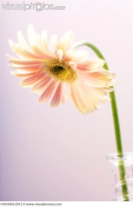 Transvaal daisy flower (Gerbera jamesonii). Photographed in December.