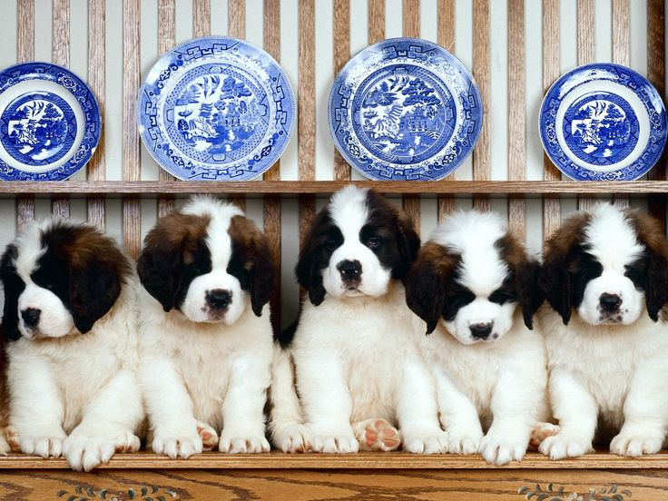 can't get much cuter than st bernard puppies and blue willow plates!