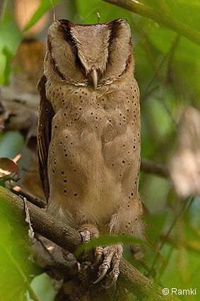 Oriental Bay-owl (Phodilus badius), sleeping. This owl can be up to 30 cm in length. It is nocturnal and can be found throughout Southeast Asia. Photo: Ramki.