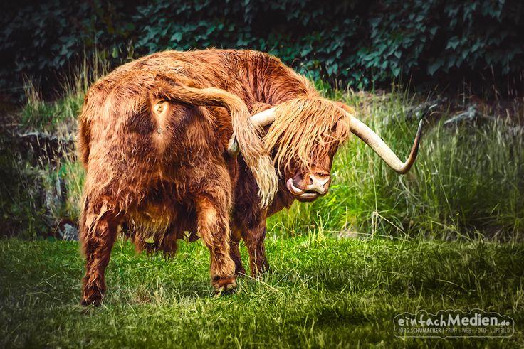 ► Schottisches Hochlandrind  http://de.wikipedia.org/wiki/Schottisches_Hochlandrind  #Rind #Highlandrind #Schottland #Tiere #Tierfotografie #Fotografie #Nikon #D800 #einfachMedien #Fotograf #Bildbearbeiter #JoergSchumacher #myfavpicoftheweek  #Animal #Animalphotography #Photography © 2015 Jörg Schumacher · Fotograf Gaggenau  www.einfachMedien.de