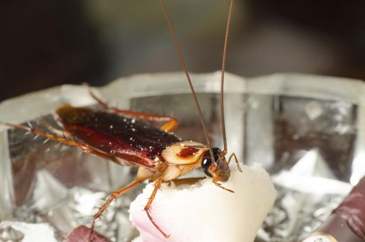 how to kill roaches naturally with sugar and baking soda a natural roaches and baking soda. Black Bedroom Furniture Sets. Home Design Ideas