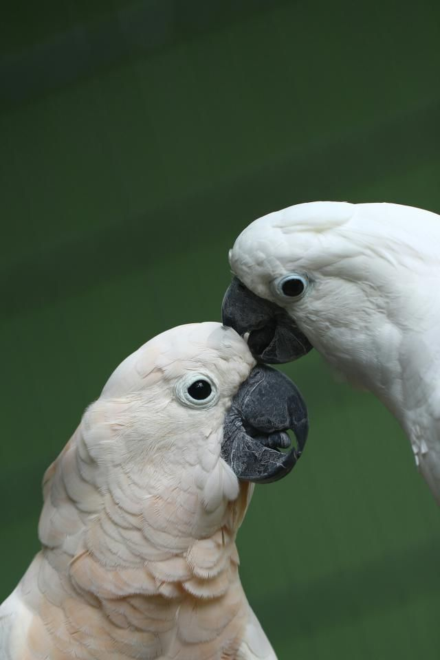 174 best Umbrella Cockatoo images on Pinterest | Parrots ...