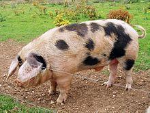 A Gloucestershire Old Spots boar