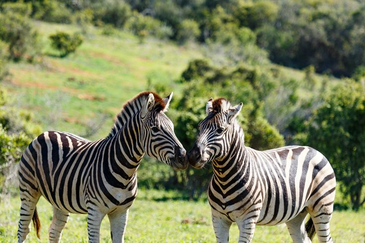 Zebras standing and sniffing each other  Zebras standing and sniffing each other with their noses.