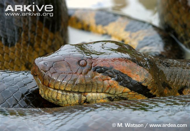 Green anaconda coiled, showing head detail