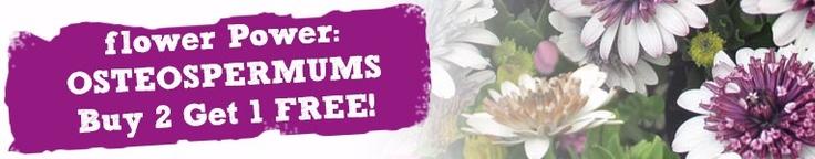 Buy Flower Power- Osteospermums Buy 2 Get 1 FREE! | Unwins Seeds