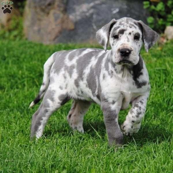 Great Dane Patient And Friendly Great Dane Puppy Dane Puppies