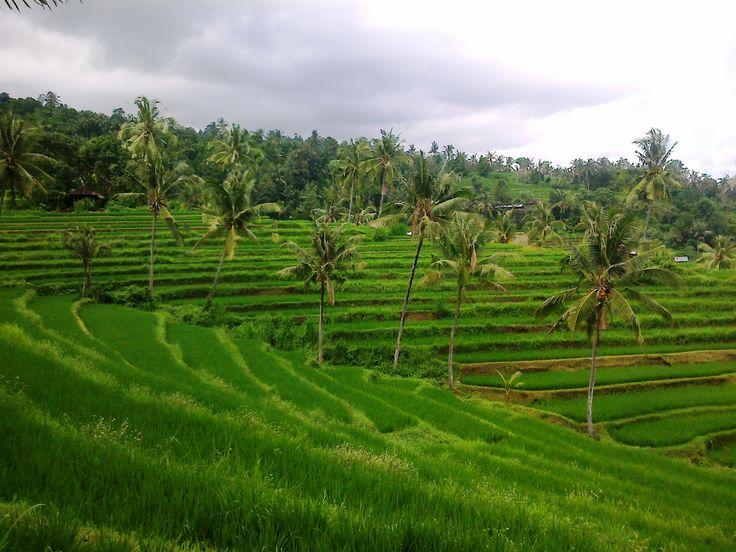 Rice field, Buleleng, Panji. North Bali Indonesia