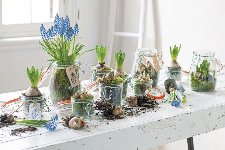 Zet je bollen eens in een weckpot, zo kun je niet alleen de bloemen maar ook de wortels zien! #intratuin #bloembollen #muscari