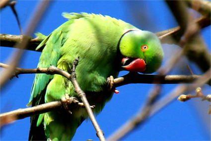 Ein grüner Papagei, aufgenommen im Süden von Köln. Es ist ein Halsbandsittich-Männchen.