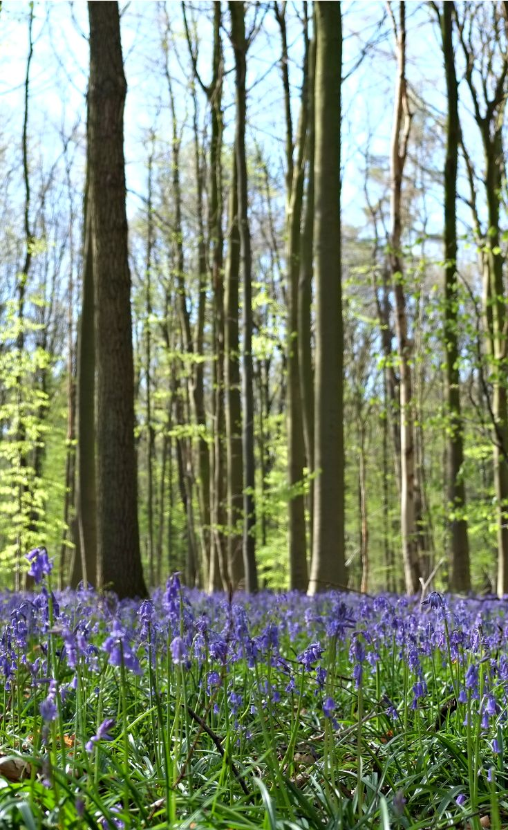 A visit to the Hallerbos forest in spring to see the lovely bluebells is a must when in Belgium!