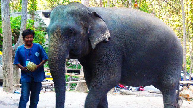 Le maître de Chiang Mai ! #Thailande #Chiang #Mai #Elephant