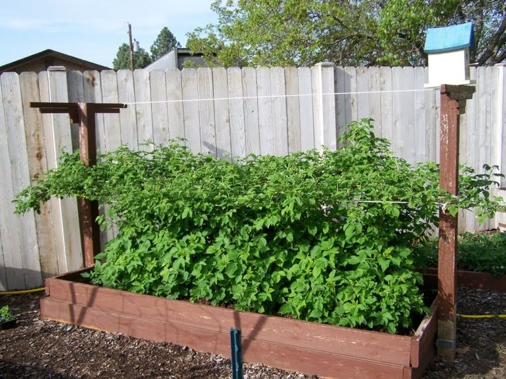 Great way to grow raspberries!!!