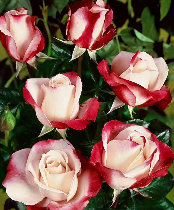'Nostalgie is a rose with a distinctive shape, fragrance and a rare colour combination of creamy-white with cherry-red. Most roses bred commercially for cutting are grown in the greenhouse, but 'Nostalgie' can be grown outdoors as it is so robust.
