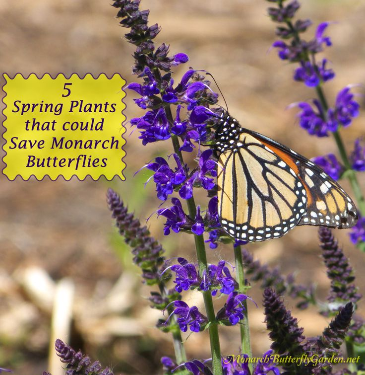 5 Spring Plant Ideas that could help save the struggling monarch population and their amazing fall migration.