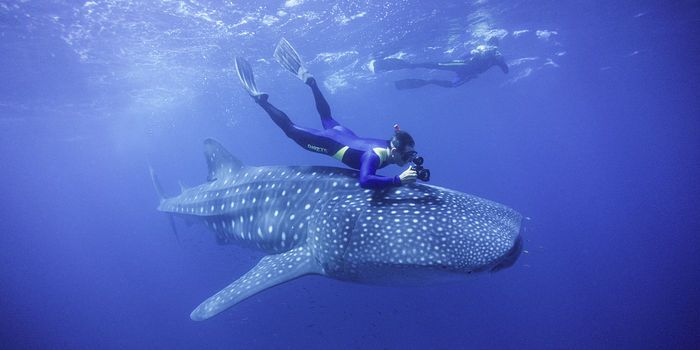 A whale shark and snorkelers in western Australia