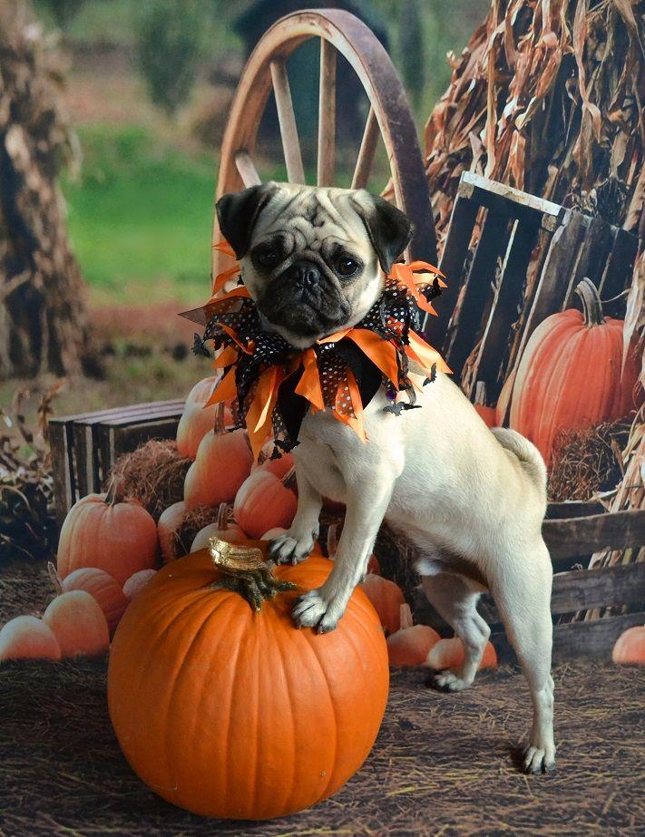 Pug Pumpkin Pose. Our Pug Boo Lefou #pug #dog #pet #Halloween #costume #pumpkin #cute #puppy