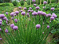 Allium schoenoprasum Chives; in very front west corner of top terrace; some transplants from Sutherlands went in winter 2013 and some from Atwoods went in spring 2014; seeds sown but never germinated; hoping for an excellent stand that can be spread about in fruit tree guilds