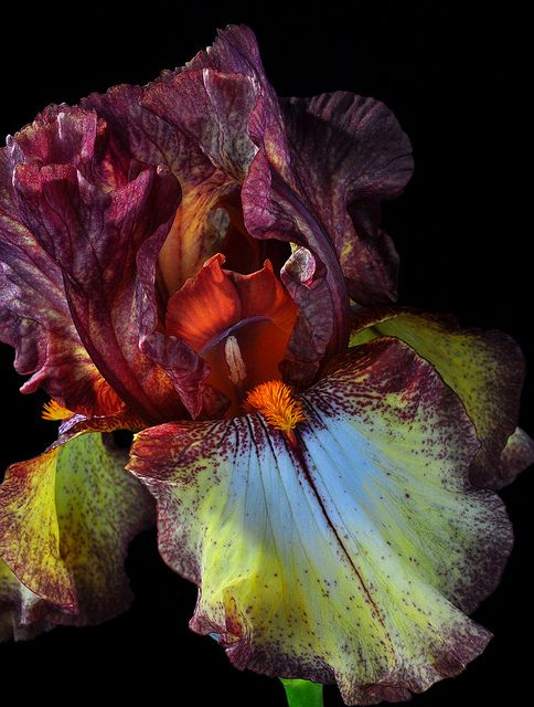 Iris Shapes and Colors by Bill Gracey on Flickr. I've never seen lime green iris fells.