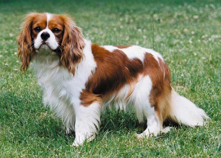king charles cavalier puppies - I love them.