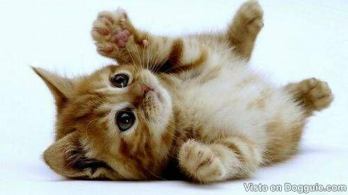 Tiernos y lindos gatitos   Curiosidades, Dogguie.