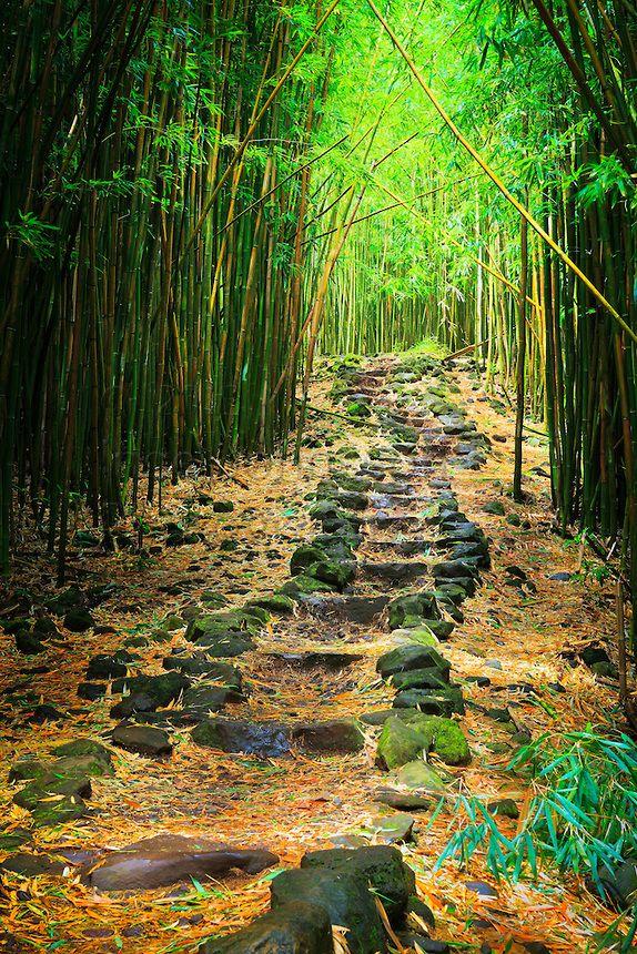 Maui.  Bamboo forest along the Pipiwai trail to Waimoku Fall in the Kipahulu area of Haleakala National Park