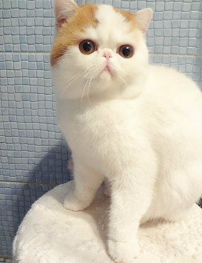 Image detail for -lucifeperfection:You know this cute adorable flat faced cat right? :3 ...