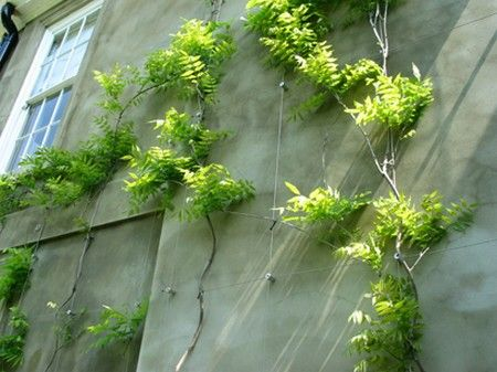 How to train climbing plants on a concrete wall.