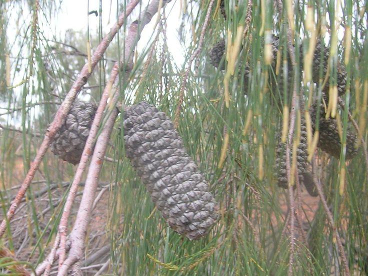 desert oak acorn
