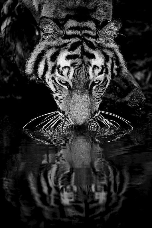 Imagine a world where they no longer exist?? That would be incredibly sad. The Siberian Tiger Reflections
